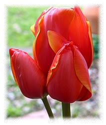 aschotte-tulip3
