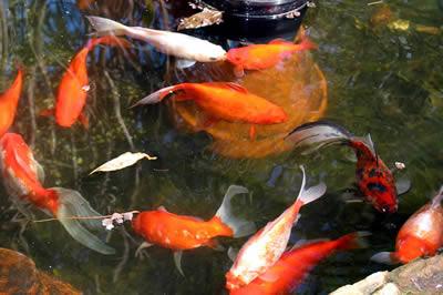 ashcotte-fish-pond